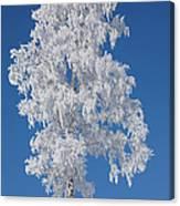 Winter Birch Tree Canvas Print