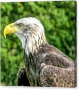 Wisconsin Bald Eagle Canvas Print