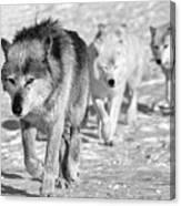 Wolf B&w 4593 Canvas Print
