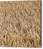 Wonderful Wheat Canvas Print