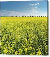 Yellow Canola Field And Blue Sky Spring Landscape Canvas Print