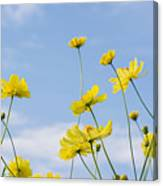 Yellow Cosmos Flowers With Light Blue Canvas Print