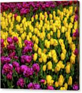 Yellow Star Tulips Canvas Print