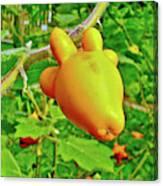 Yellow Tomato In The Amazon Jungle, Peru Canvas Print