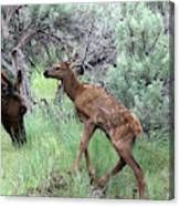 Yellowstone Elk Calf And Cow Canvas Print