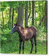 Young Brown Colt Canvas Print