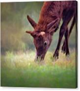 Young Elk Grazing Canvas Print