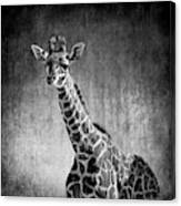 Young Giraffe Black And White Canvas Print