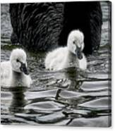 Young 'uns, Black Swan Cygnets Canvas Print