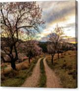 Path Between Almond Trees In A Beautiful Sunrise Canvas Print