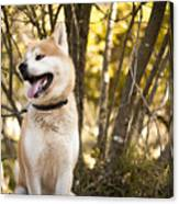 Akita inu dog on a walk in the forest Canvas Print