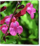 Bee Fly at Salvia Canvas Print