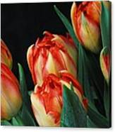Budding tulips Canvas Print