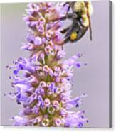 Bumblebee on Blue Giant Hyssop Canvas Print