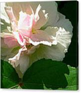 China Rose 1 Canvas Print