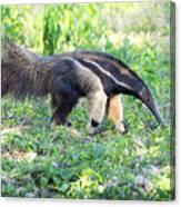 Giant Anteater Wetland Brazil Canvas Print