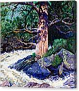 Old Pine In Rushing Stream Canvas Print