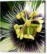Passion Fruit Flower Canvas Print