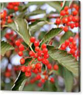 Red Berries Of Crataegus Tree Photograph By Taina Sohlman