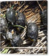 Red-eared sliders / red-eared terrapins (Trachemys scripta elegans / Pseudemys scripta elegans / Emys elegans) group resting on log in lake Canvas Print