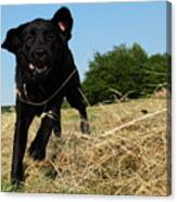 Running and jumping hunting black Labrador Retreiver dog in hay Canvas Print
