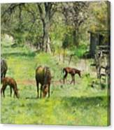Spring Colts Canvas Print