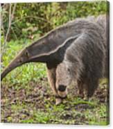 Tamanduá Bandeira - Giant Anteater Canvas Print