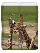Two Reticulated Giraffes  - Giraffa Camelopardalis Duvet Cover