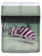 A School Of Sheepshead Feeding Duvet Cover by Michael Wood