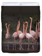 Greater Flamingo Group Courtship Dance Duvet Cover