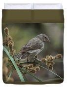 Small Ground-finch Female Feeding Duvet Cover