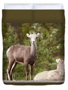 Two Young Stone Sheep Ovis Dalli Stonei Watching Duvet Cover