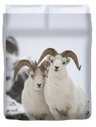 Dall Sheep Ovis Dalli Rams, Yukon Duvet Cover