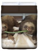 Hoffmanns Two-toed Sloth Orphans Eating Duvet Cover