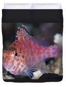 Pixy Hawkfish, Kimbe Bay, Papua New Duvet Cover