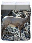 Bighorn Sheep Lamb Duvet Cover