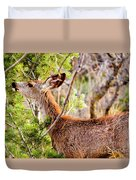 Mule Deer Foraging On Pine On A Colorado Spring Afternoon Duvet Cover