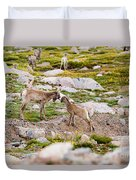 Practicing Baby Bighorn Sheep On Mount Evans Colorado Duvet Cover