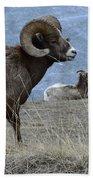 Big Horn Sheep 2 Bath Towel