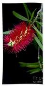 Callistemon Citrinus - Crimson Bottlebrush Hawaii Bath Towel