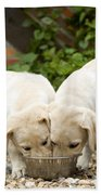 Labrador Puppies Eating Bath Towel