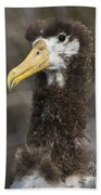 Waved Albatross Molting Juvenile Bath Towel