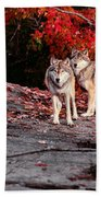 Timber Wolves Under A Red Maple Tree - Pano Bath Towel