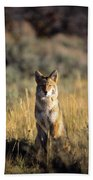 A Coyote Canis Latrans Stares Bath Towel