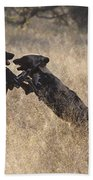 African Wild Dogs Playing Lycaon Pictus Bath Towel