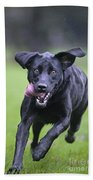 Black Labrador Running Bath Towel