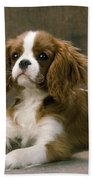 Cavalier King Charles Spaniel Dog Lying Bath Towel