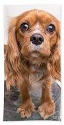 Cavalier King Charles Spaniel Puppy Bath Towel