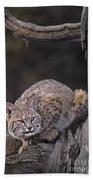 Crouching Bobcat Montana Wildlife Bath Towel