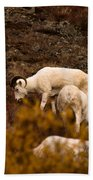 Dall Sheep Grazing Bath Towel